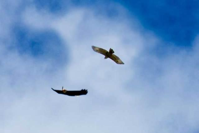 hawks circling by HP Bobbles